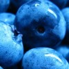 blueberries crop